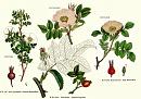 Clicca sull'immagine per ingrandirla  Nome:   rosaceae2.jpg Visite: 935 Dimensione:   80.5 KB ID: 19743