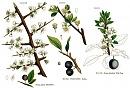 Clicca sull'immagine per ingrandirla  Nome:   rosaceae3.jpg Visite: 1048 Dimensione:   80.5 KB ID: 19744