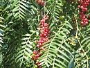 Clicca sull'immagine per ingrandirla  Nome:   Pepper-tree_Karaburun.jpg Visite: 187 Dimensione:   145.6 KB ID: 48877