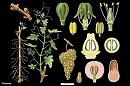 Clicca sull'immagine per ingrandirla  Nome:   Vitaceae.jpg Visite: 525 Dimensione:   66.6 KB ID: 20905