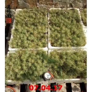 Semenzali di cedro deodara (cedro dell'Himalaya) medium