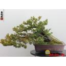 Taxus cuspidata 16-02