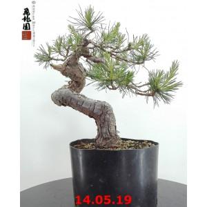 Pine L-03