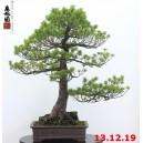 Pinus pentaphylla 19/06