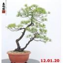 Pinus pentaphylla 20/02