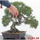 Juniperus kishu 20/02