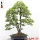 Pinus pentaphylla 20/05