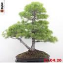 Pinus pentaphylla 20/06