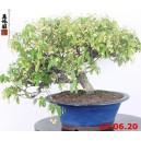 Trachelospermum jasminoides 20/01