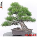 Pinus thunbergii 20/11