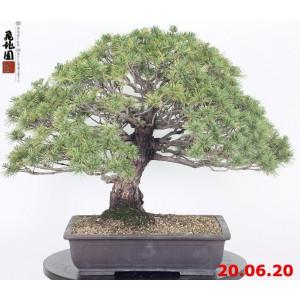 Pinus pentaphylla kokonoe 20/11