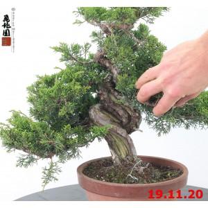 Juniperus itoigawa 20/15