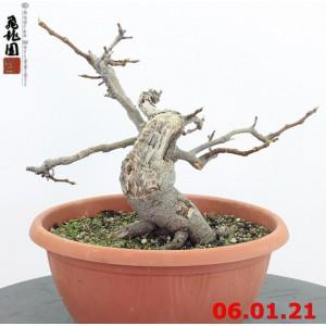 Ficus carica 21/01