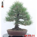 Pinus thunbergii 21/04
