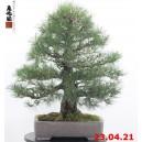 Pinus thunbergii 21/06