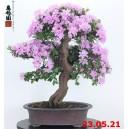 Rhododendron azalea 21/02