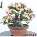 Rhododendron azalea ishizuki 21/03
